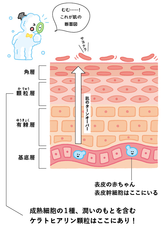 ◎潤いのカギは表皮幹細胞と肌のターンオーバー